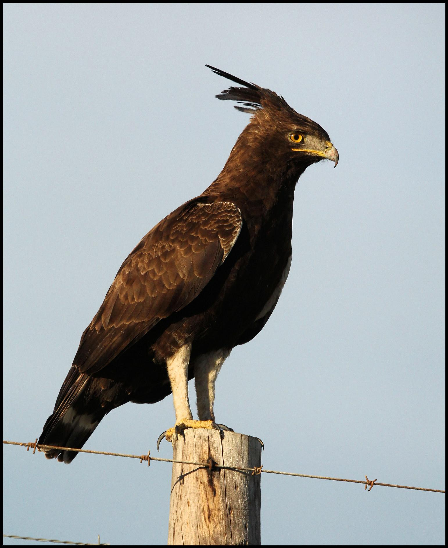 Long Crested Eagle by CruelComediette on DeviantArt