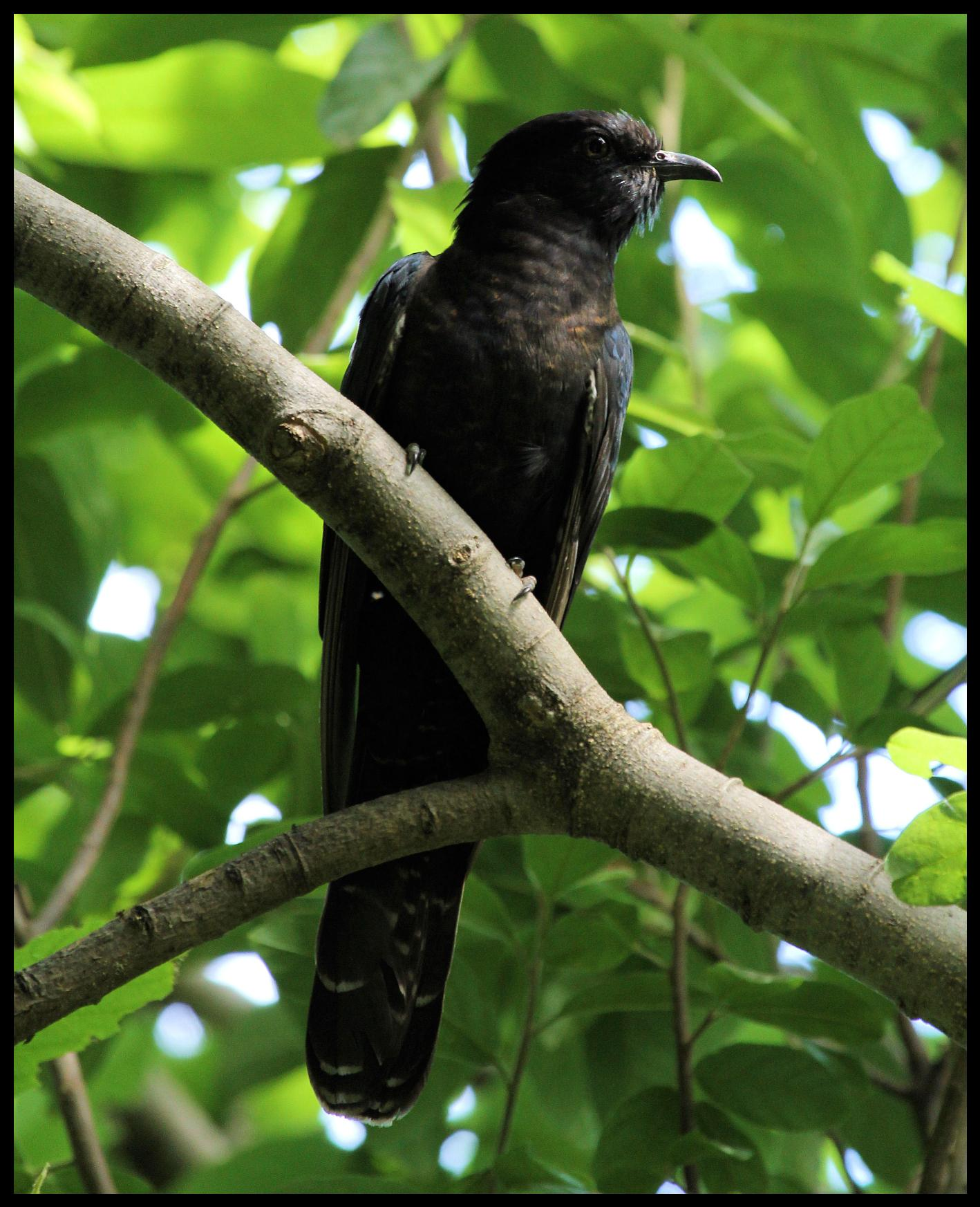 Black cuckoo bird - photo#10
