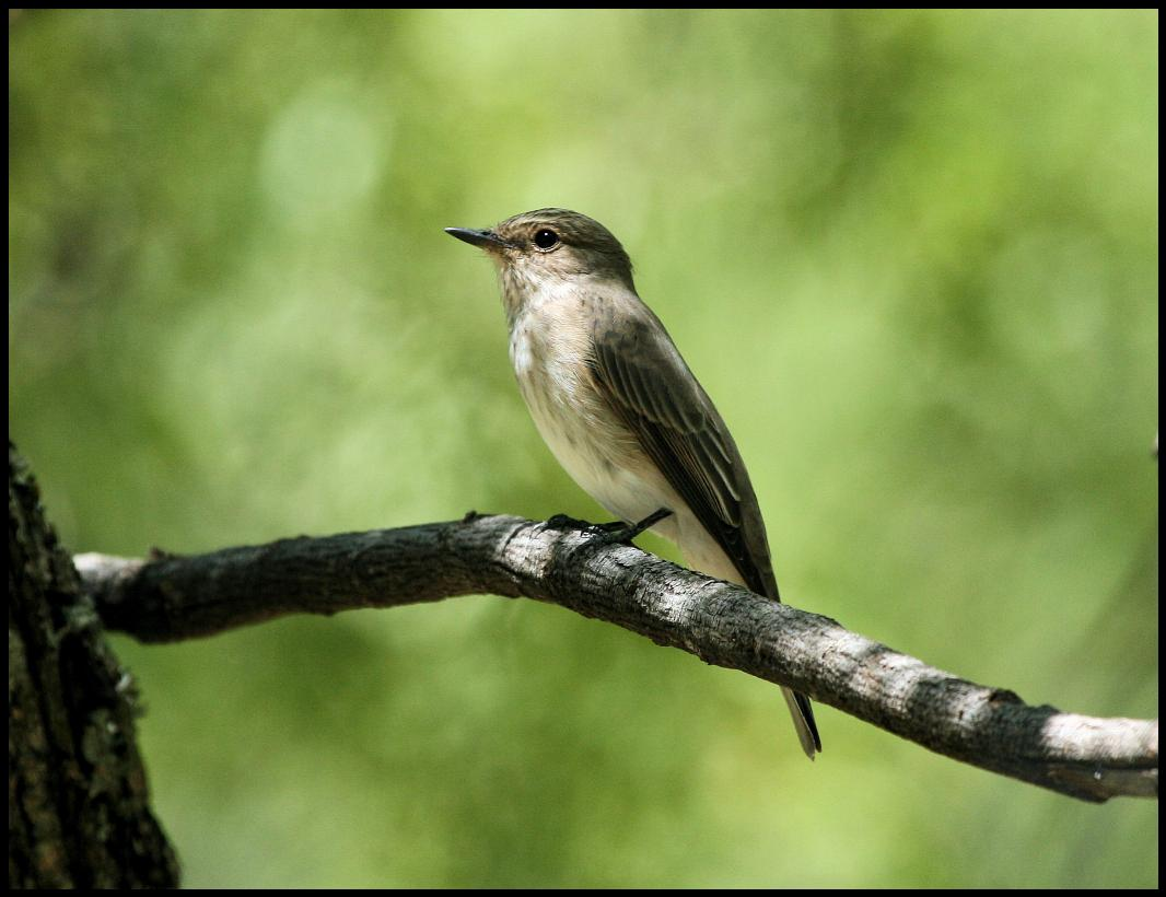 http://www.laine-dirk.co.za/photos/689/Spotted%20Flycatcher.jpg