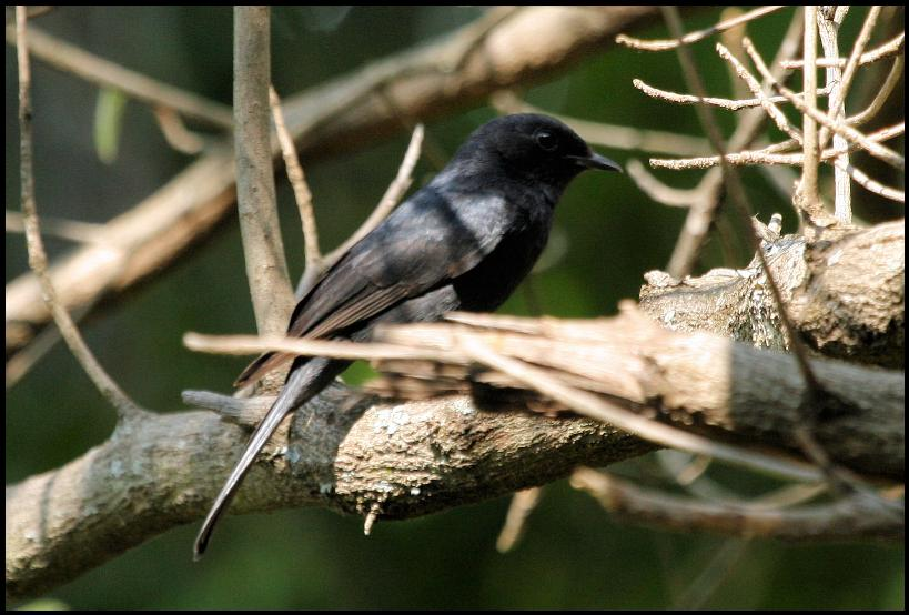 http://www.laine-dirk.co.za/photos/694/Southern%20Black%20Flycatcher%20-%20Nel.JPG