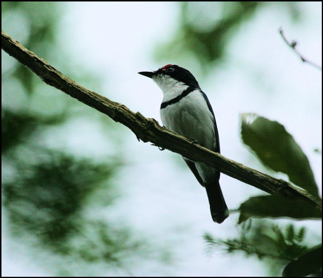 http://www.laine-dirk.co.za/photos/705/Black-throated%20Wattle-Eye.JPG