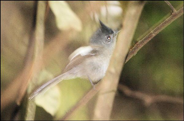 http://www.laine-dirk.co.za/photos/708/Blue%20Mantled-Crested%20Sunbird%20-%20KM.jpg