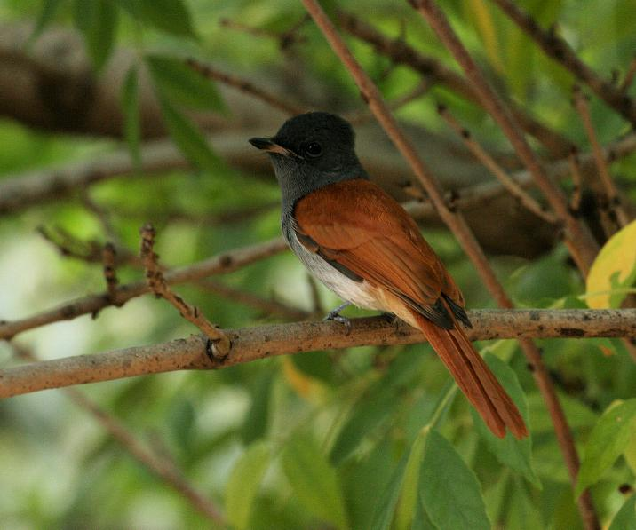 http://www.laine-dirk.co.za/photos/710/African%20Paradise-Flycatcher.JPG